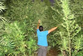 marihuanaempresas