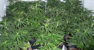 Cannabisxx